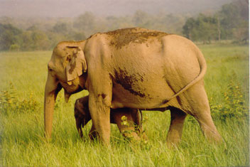 Asian Elephant Mother and calf in Corbett National Park, India