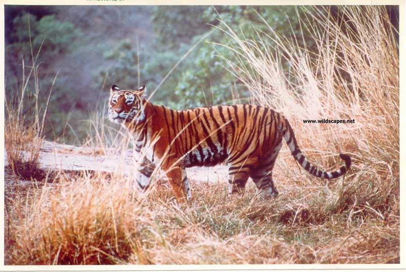 Tigress Machali in Ranthambore National Park, India