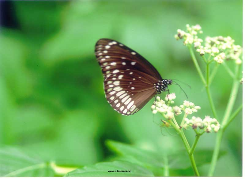 Common Crow Butterfly, India
