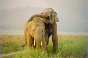 Elephants expressing affection in Corbett National Park, India