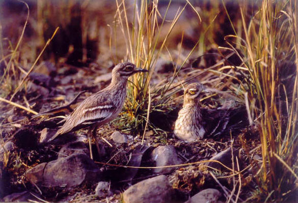 Nesting Eurasian thicknees or Stone curlews in Ranthambore National park, India
