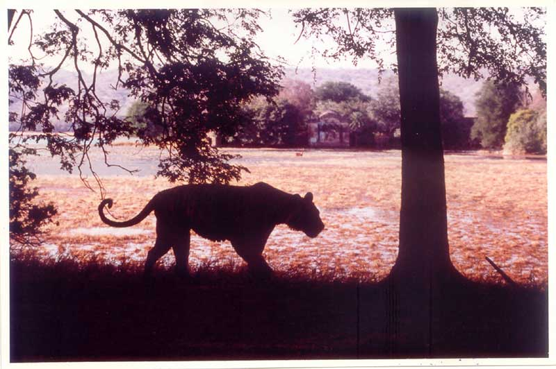 Tiger silhouette near lake in Ranthambore National Park, India