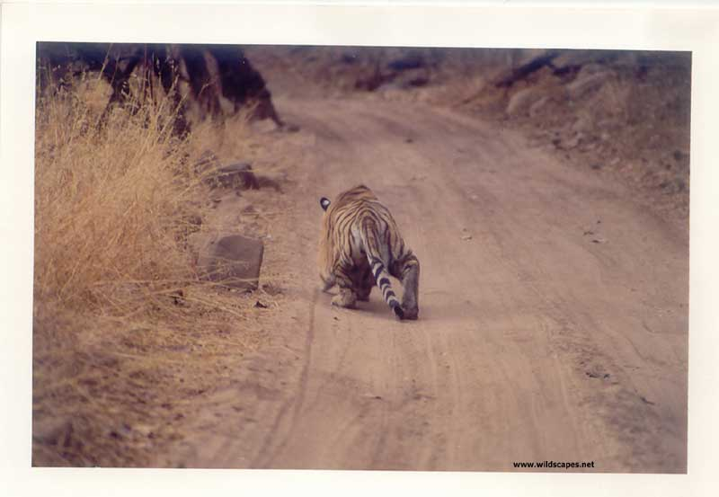 Tiger stalking on the jungle road in Ranthambore National Park, India