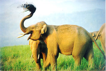 Trumpeting Bull Elephant in Corbett National Park, India