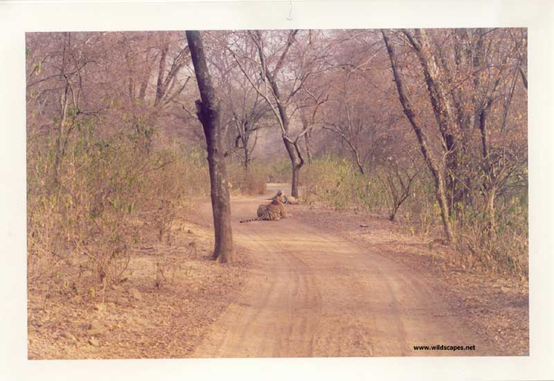 Tiger sitting on a road in Ranthambore National Park, India