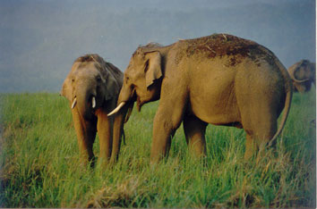 Young Bull Elephants in Corbett National Park, India