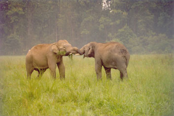 Young elephants greeting each other in Corbett National Park, India
