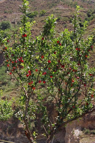 Plum tree in Uttaranchal, India